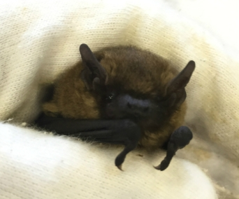 Common pipistrelle cropped - Becky Wilson
