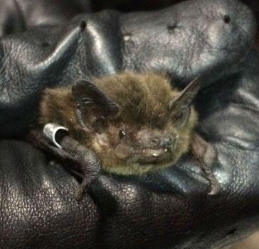 Nathusius' pipistrelle cropped - Huma Pearce